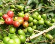 Extrait de Graines de Café Vert
